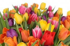 Tulips istock