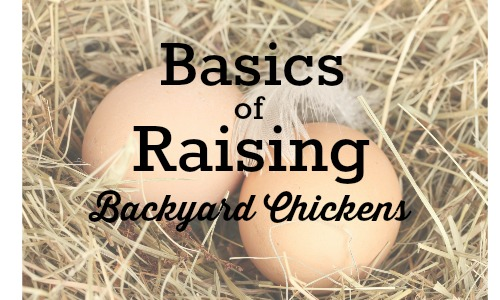 basics of raising backyard chickens 1