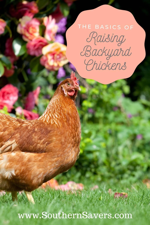The Basics of Raising Backyard Chickens :: Southern Savers