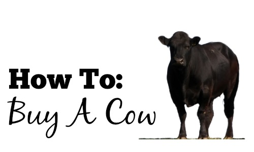 how to buy a cow
