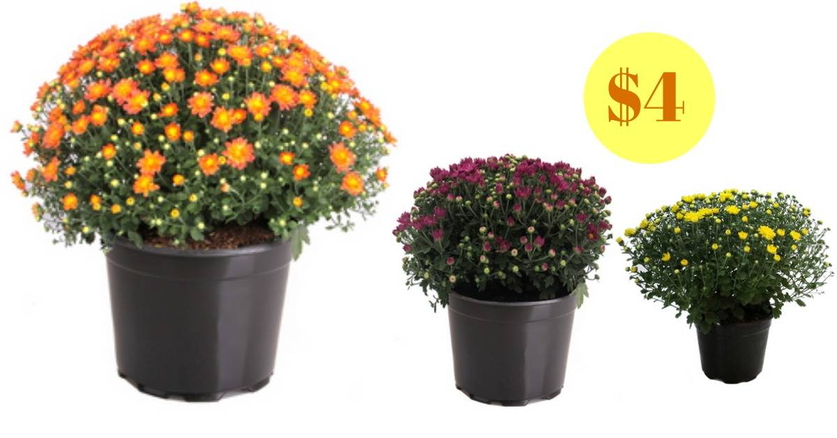 Lowe's Deal: 3-Quart Mums for $4 :: Southern Savers